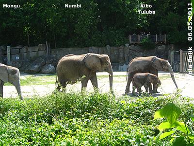 Numbi und ihre beiden Söhne Kibo und Tuluba, 6. Mai 2011 (Screenshot von Video)