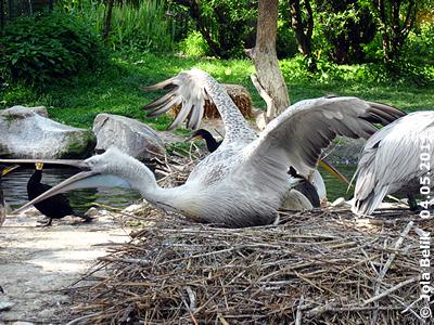 Das Nest wird vehement verteidigt, 4. Mai 2011