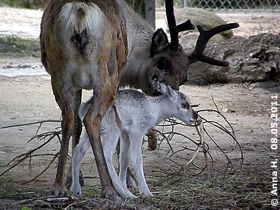 Mama mit Baby #2, wenige Stunden alt, 7. Mai 2011,