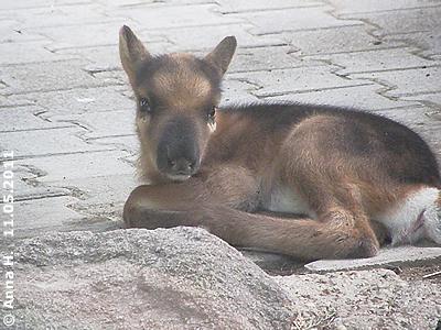 Rentier-Zwergerl Baby #3, zwei Tage alt, 11. Mai 2011