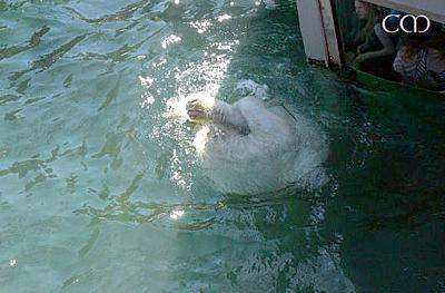 ... umso mehr kasperlt Arktos herum, Zoo Hannover, 4. Juni 2011