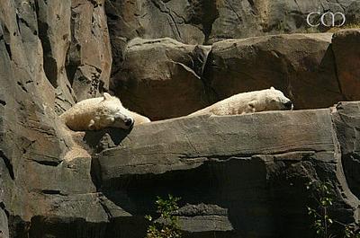 ... macht aber ganz schön müde! Arktos und Sprinter im Zoo Hannover, 4. Juni 2011