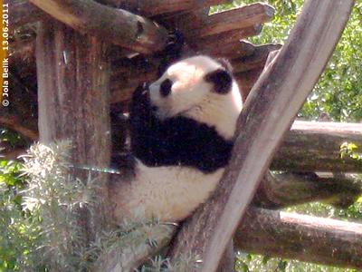 Fu Hu, fast zehn Moante alt, 13. Juni 2011