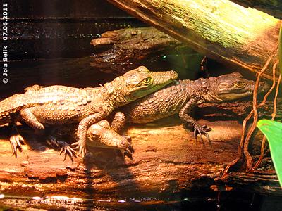 Die drei Krokobabys, 6 Monate alt, sind schon ganz schön viel gewachsen! 7. Juni 2011