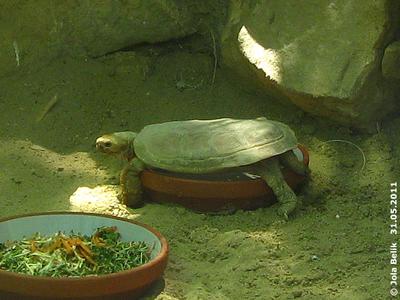 Spaltenschildkröte unterwegs, 31. Mai 2011