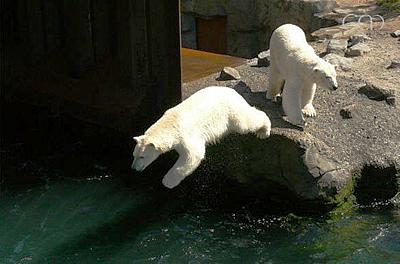 Auch Sprinter (li) ist eine Wasserratte und springt gerne ins Wasser! Zoo Hannover, 4. Juni 2011