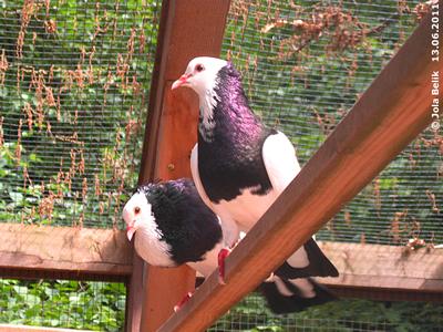 Diese schwarz-weißen Tauben ...