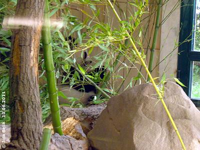 Mama Yang Yang versteckt sich gerne hinter dem großen Baumstamm im Haus, 13. Juni 2011