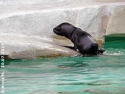 Diego, zwei Wochen alt, klettern nach einer Runde im großen Becken an Land und ...