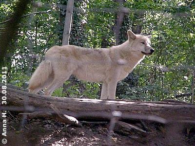 Wird er der Alphawolf des kleinen Rudels werden? Ide, 30. August 2011