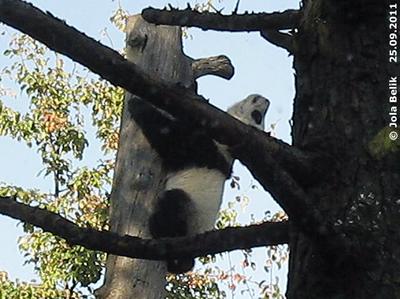 """Fu Hu auf dem """"neuen"""" Baumstamm in der Außenanlage giraffenseitig, 25. September 2011 (Screenshot aus Video)"""