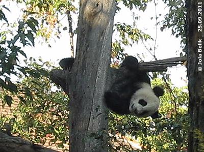 Fu Hu beim Herumkasperln auf dem Baumstamm, 25. September 2011