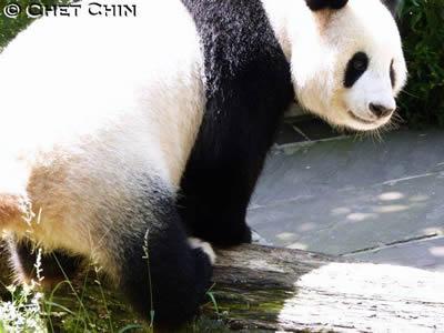 ... der wohl berühmteste Pandafuß der Welt ....