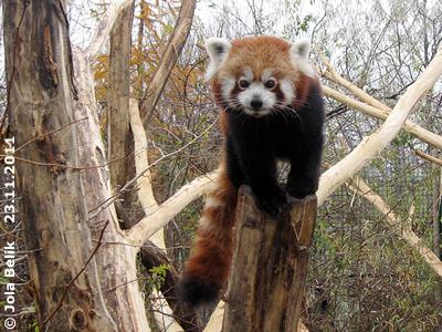 Panda-Mädchen, 23. November 2011