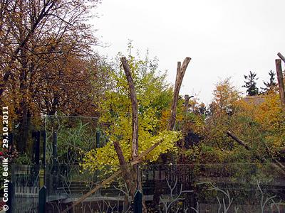 Der Gingko-Baum mit gefärbtem Blattwerk, hier sieht man auch schon die neuen Stämme zum Klettern, 29. Oktober 2011