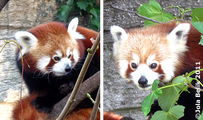 Rote Pandas: sie hat ein dunkleres und runderes Kopferl (li), er hat über den Augen eine hellere Fellzeichnung (re)