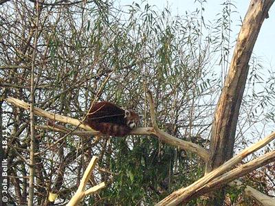 Auch ihr sind nach einiger Zeit die Augerl zugefallen! Katzenbär-Weibchen, 18. November 2011