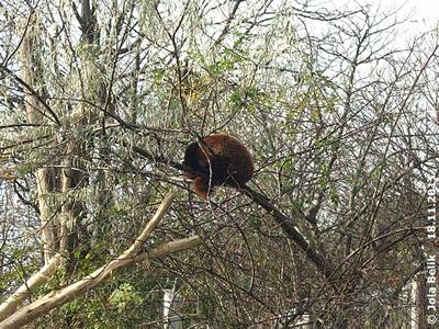 So viel Aufregung macht müde! Panda-Männchen, 18. November 2011