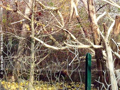 Kurz nach der Übersiedlung wie die Anlage schon begutachtet, sie sitzt links oben (Pfeil), er schnüffelt rechts unten (Pfeil) herum, Rote Pandas, 18. November 2011