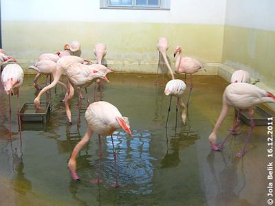 Rosa Flamingos, 16. Dezember 2011
