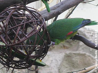 Die Kugel sit ein tolles Versteck für Futter! Rotspiegel-Amazone mit einer Weiden-Kugel, 14. Jänner 2012