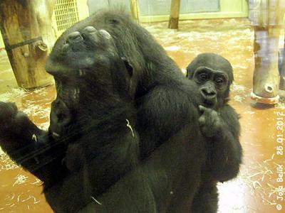 Baby Bongo, zwei Jahre alt, mit Mama N'Yaounda, Zoo Budapest, 25. Jänner 2012
