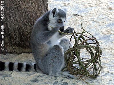Ein interessantes teil ist das! Ein Katta untersucht die Reste einer Weiden-Kugel, 14. Jänner 2012