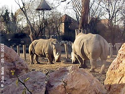 Breitmaulnashorn-Weibchen Lulu, 32 Jahre alt, und Tochter Layla, in der Außenanlage, Zoo Budapest, 25. Jänner 2012