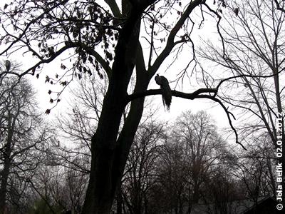 Dank Nebel - wie in einem mystischen Märchen! Pfau auf der Pelikan-Insel, 2. Jänner 2012