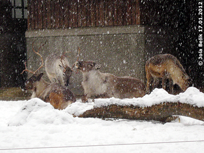 Hätte diess WEtter nciht schon zu Weihnachten kommen sollen? Rentiere im Schnee, 17. Jänner 2012