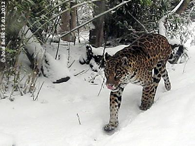 Jaguarin Sheila im Schnee, 17. Jänner 2012