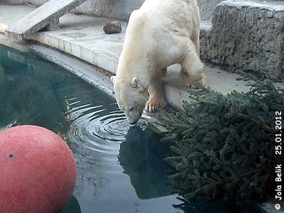 Eisbärmann Vitus, Zoo Budapest, 25. Jänner 2012