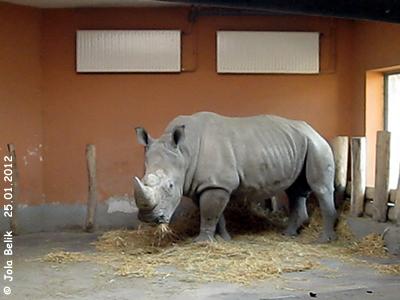 Der neue Zuchtbulle aus Ramat Gan in Israel, seit dem 24. November 2010 in Budapest: Zafriel, 22 Jahre alt, Breitmaulnashorn, Zoo Budapest, 25. Jänner 2012