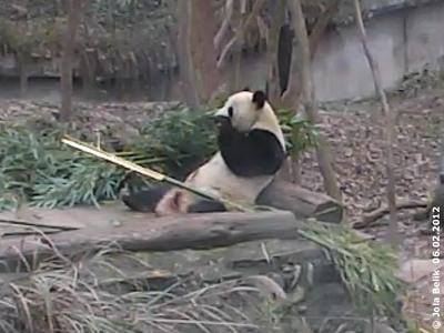 Fu Long beim Frühstück in Bi feng Xia, 6. Februar 2012 (Screenshot von Pandacam)