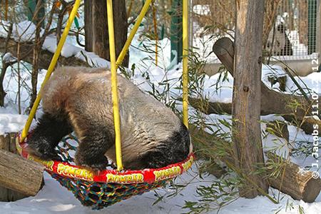 Papa spielt und Kind darf zuschauen? - Passiert auch in der Panda-Welt! Papa Long Hui spielt mit der Schaukel und sein Sohn darf zuschauen! 11. Februar 2012