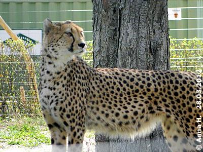 ... eine Geparden-Schönheit! Faride, 28. März 2012
