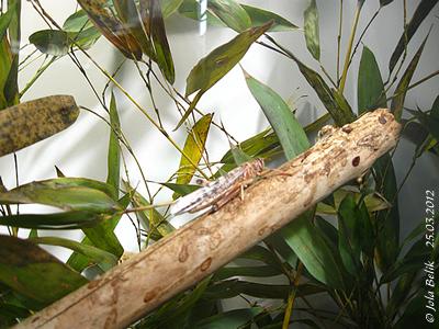 Wüstenheuschrecke, 25. März 2012