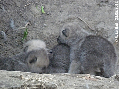 Einige der Mini-Wölfe, rund vier Wochen alt, 23. Mai 2012