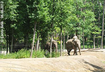 Yasmine, Tanya und Motki bei ihrem täglichen Fitness-Programm, Sóso Zoo, 6. Juni 2012