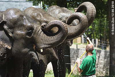 Jasmine, Tanya und Motki genießen die kühlende Dusche, Sóstó Zoo, 12. Juni 2010