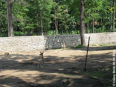 ... weitere Mitbewohner, Hirschziegenantilopen, Sóstó Zoo, 6. Juni 2012