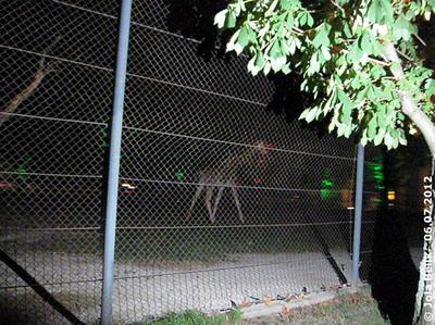 Giraffe auf dem Weg zum Futterkorb, 23:00 Uhr, 6. Juli 2012