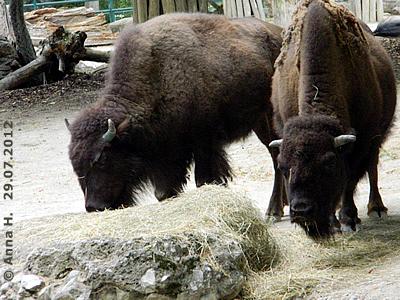 Das neue Bison-Mädl (li) und Bison-bub Menewa (re), 29. Juli 2012