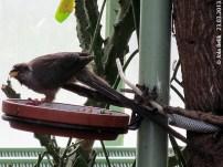 Mausvogel