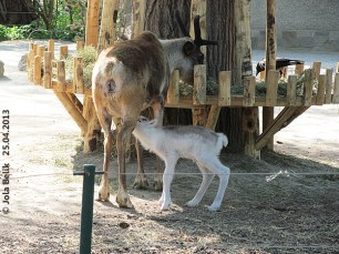 Neugeborenes Rentier-Baby