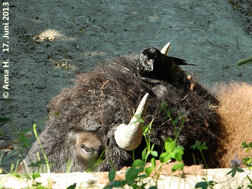 Krähe und Bison