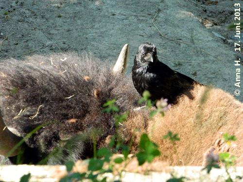 Bison und Krähe