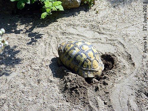 Frau Griechische Landschildkröte bei der Eiablage, 17. Juni 2013