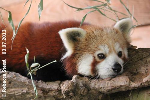 Pandabub Kaldon