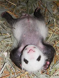 wien panda bub ist f nf wochen alt zoobesuche. Black Bedroom Furniture Sets. Home Design Ideas